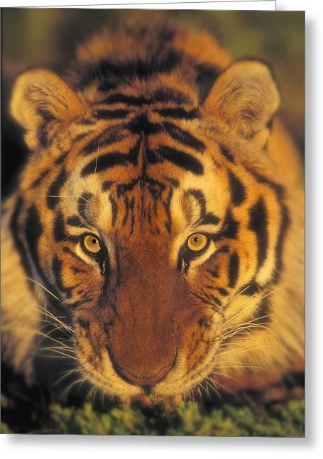 Predaceous Greeting Cards - Siberian Tiger. Captive. Kalispell Greeting Card by Thomas Kitchin & Victoria Hurst