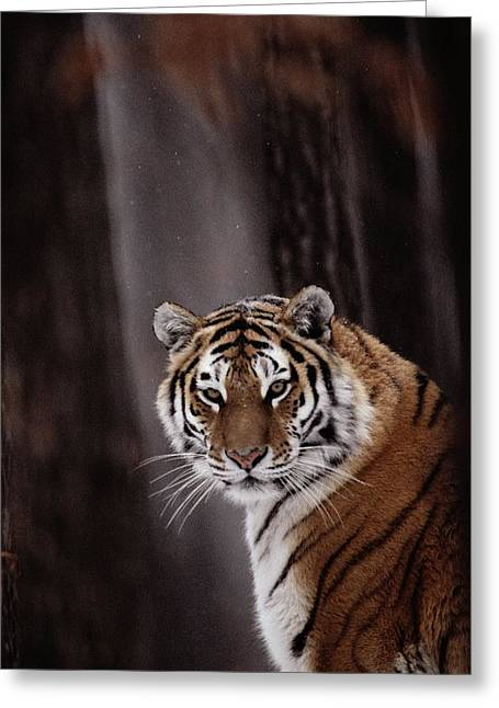 Altaica Greeting Cards - Siberian Tiger Panthera Tigris Altaica Greeting Card by Dr. Maurice G. Hornocker