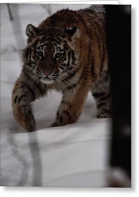 Altaica Greeting Cards - Siberian Tiger Panthera Tigris Altaica Greeting Card by Michael Nichols