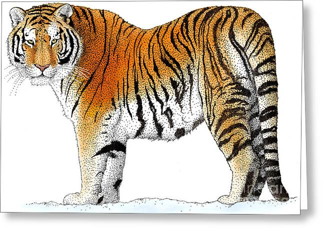 Tiger Drawings Greeting Cards - Siberian Tiger Greeting Card by Roger Hall and Photo Researchers