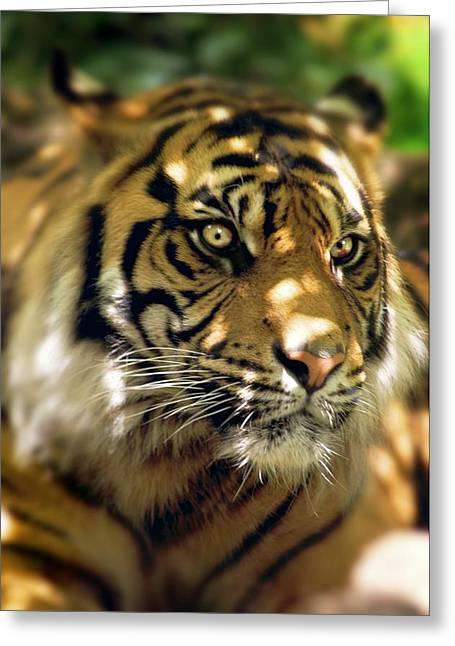 Panthera Tigris Greeting Cards - Siberian Tiger Greeting Card by Victor Habbick Visions