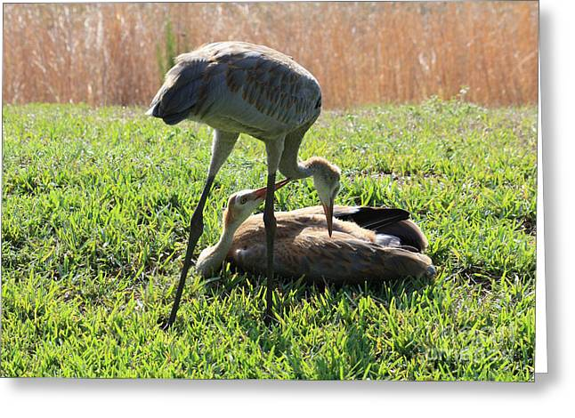 Sandhill Cranes Greeting Cards - Sibling Rivalry Greeting Card by Carol Groenen