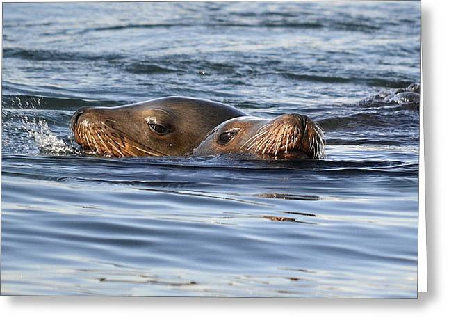 Sea Lions Greeting Cards - Siblings Greeting Card by Fraida Gutovich