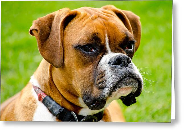 Boxer Dog Art Print Greeting Cards - Sidney The Boxer Greeting Card by Chris Thaxter
