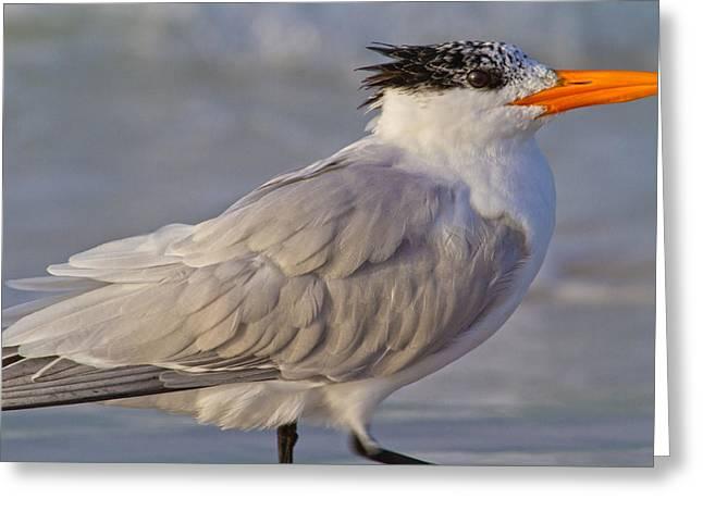 Siesta Key Greeting Cards - Siesta Key Royal Tern Greeting Card by Betsy C  Knapp