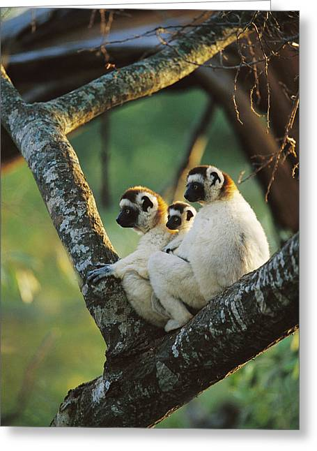 Berenty Private Reserve Greeting Cards - Sifaka Propithecus Sp Family Resting Greeting Card by Cyril Ruoso