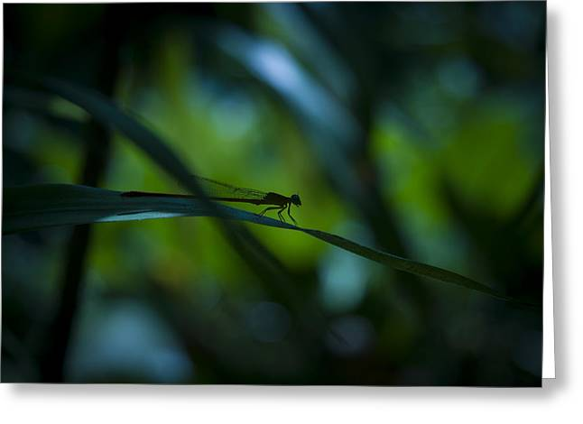 Damselfly Greeting Cards - Silhouette of a Damselfly Greeting Card by Zoe Ferrie