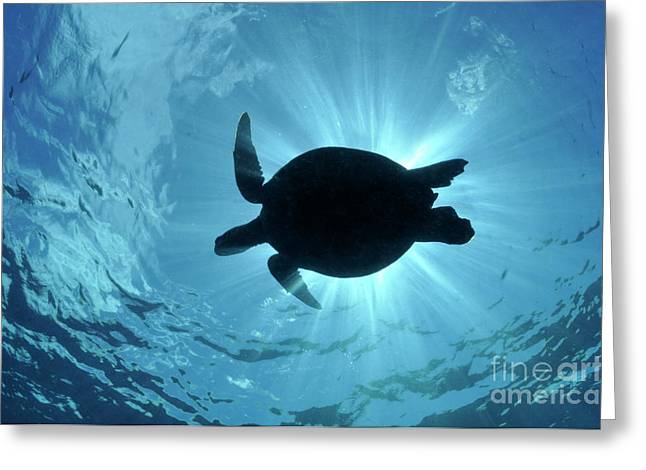 Undersea Photography Greeting Cards - Silhouette of a Green Sea Turtle Greeting Card by Sami Sarkis