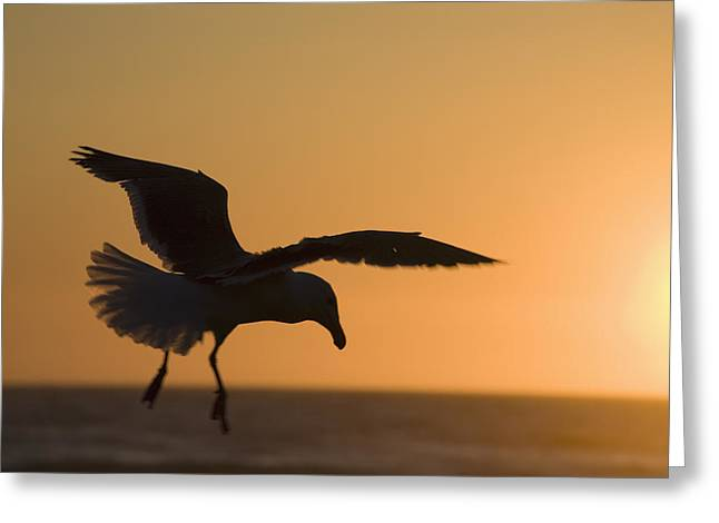 Silhouette Of A Seagull In Flight At Greeting Card by Michael Interisano