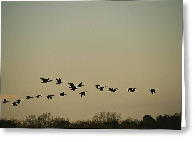 Flying Animal Greeting Cards - Silhouetted Canada Geese Flying Greeting Card by Raymond Gehman