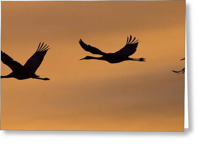 Flying Animal Greeting Cards - Silhouetted Sandhill Cranes Flying Greeting Card by Ralph Lee Hopkins