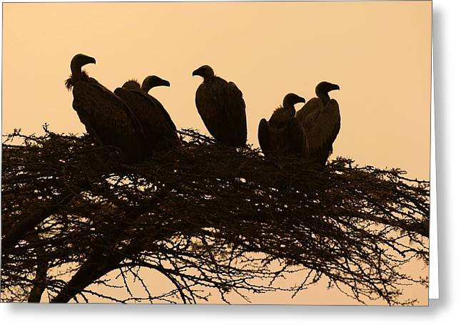 Sunset Scenes. Greeting Cards - Silhouetted Vultures In An Acacia Tree Greeting Card by Roy Toft