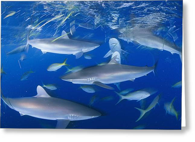 Yellowtail Greeting Cards - Silky Sharks And Yellowtail Snappers Greeting Card by David Doubilet