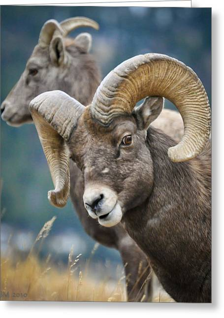 Bighorn Sheep Greeting Cards - Silly Boy Greeting Card by Kevin Munro