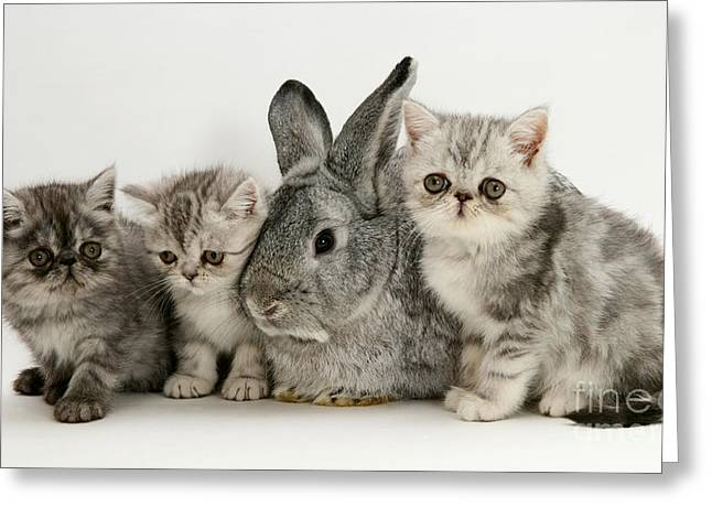 Cute Kitten Greeting Cards - Silver Exotic Kittens And Silver Lop Greeting Card by Jane Burton