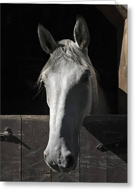 Farm Horse Greeting Cards - Silver Greeting Card by Jack Goldberg