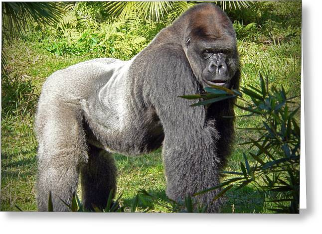 Primate Greeting Cards - Silverback Greeting Card by Steven Sparks