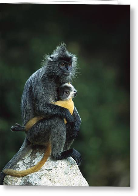 Silvered Leaf Monkey And Baby Greeting Card by Cyril Ruoso