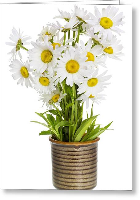 Flower Blossom Greeting Cards - Simple gentle lonely daisies Greeting Card by Aleksandr Volkov
