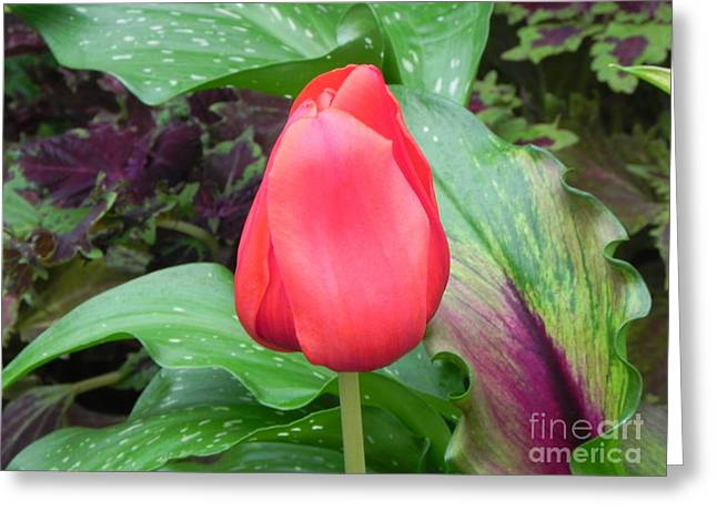 Simple Red Tulip Greeting Card by Sandy Owens