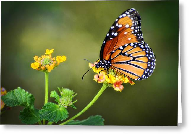 Queen Butterfly Greeting Cards - Simplicity  Greeting Card by Saija  Lehtonen