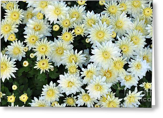 Asters Greeting Cards - Simply White Yellow Buttons Aster Flowers Greeting Card by Debra  Miller