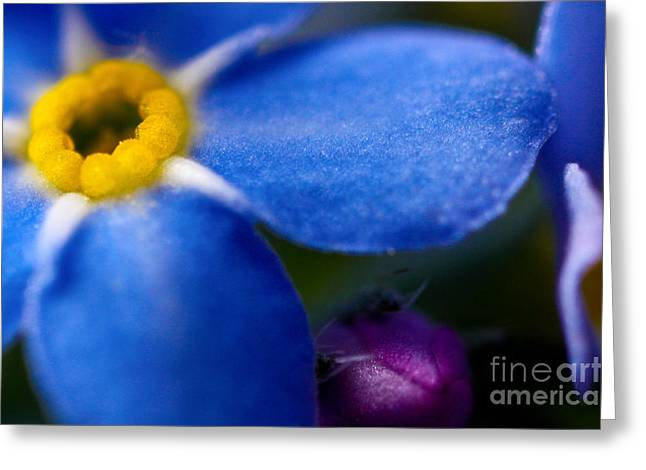 Macro Finalized Photographs Greeting Cards - Single Blue Wood-Forget-Me-Not Greeting Card by Ryan Kelly