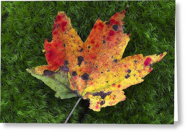 Autum Greeting Cards - Single Leaf on Green Moss Greeting Card by Steve Hurt