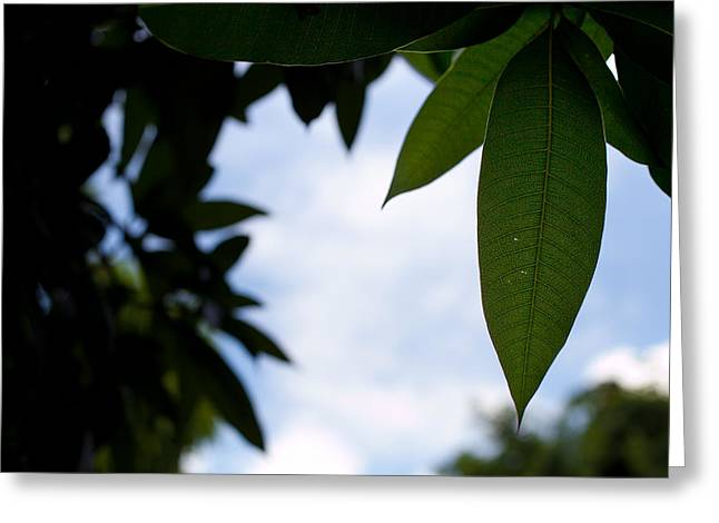 Single Mango Leaf Silhouetted Against The Sky Greeting Card by Anya Brewley schultheiss