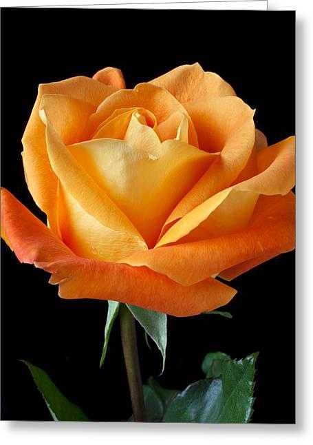 Orange Rose Greeting Cards - Single Orange Rose Greeting Card by Garry Gay