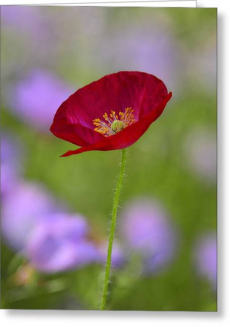 Single Red Poppy  Greeting Card by Saija  Lehtonen
