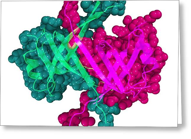 Dna Binding Protein Greeting Cards - Single Stranded Dna-binding Protein. Greeting Card by Laguna Design