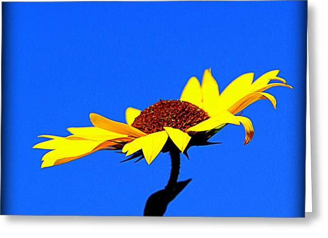 Floral Photographs Greeting Cards - Single Sunflower in Blue Background Greeting Card by Tam Graff