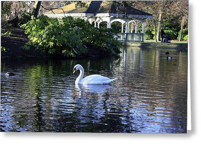 Swans... Greeting Cards - Single Swan Greeting Card by Alva Keogh
