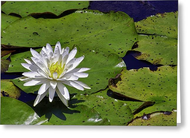 Lilly Pad Greeting Cards - Single Water Flower HDR Greeting Card by Forest Alan Lee