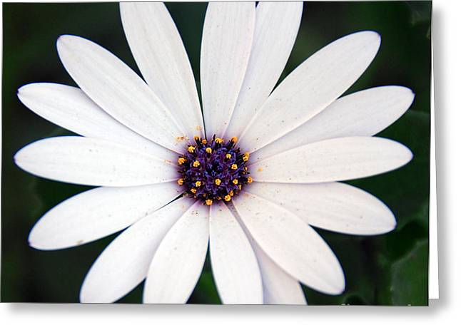 Daughter Gift Greeting Cards - Single White Daisy Macro Greeting Card by Georgiana Romanovna