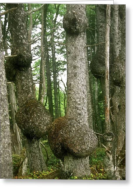 Belly Greeting Cards - Sitka Spruce Burls on the Olympic Coast Olympic National Park WA Greeting Card by Christine Till