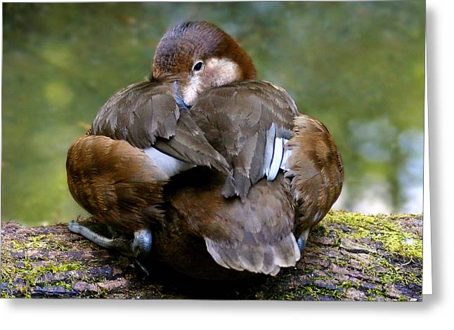 Sitting Duck Greeting Card by Jean Noren