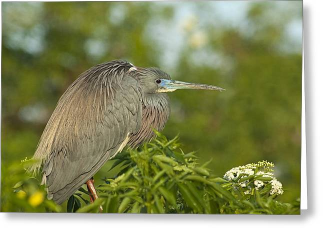 Egretta Tricolor Greeting Cards - Sitting Pretty Greeting Card by Carolyn Marshall