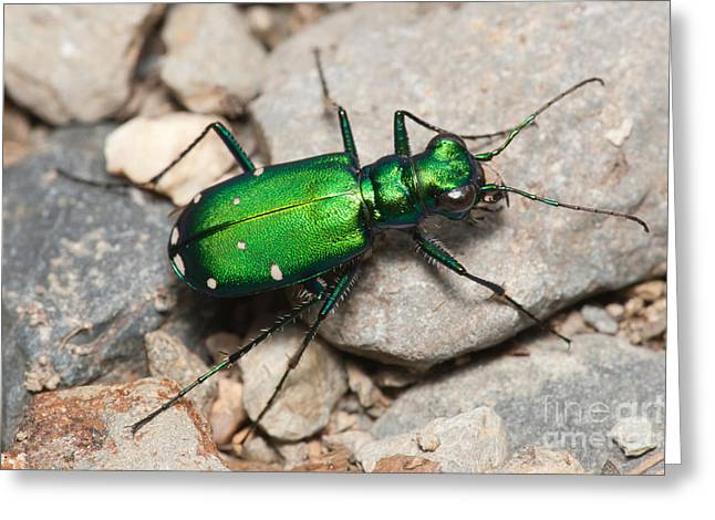 Invertebrates Greeting Cards - Six-spotted Tiger Beetle Greeting Card by Clarence Holmes