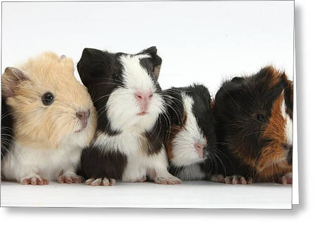 House Pet Greeting Cards - Six Young Guinea Pigs In A Row Greeting Card by Mark Taylor