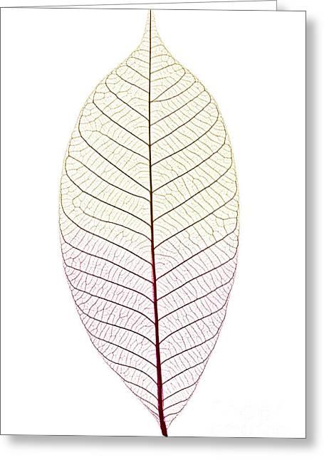 Tint Greeting Cards - Skeleton leaf Greeting Card by Elena Elisseeva