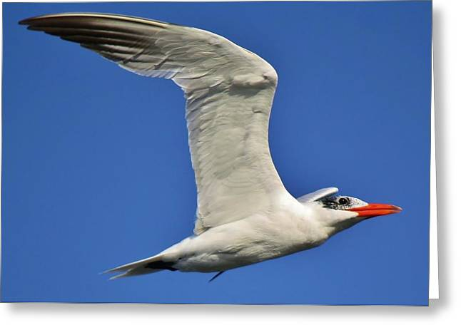 Skimmer In Flight Greeting Card by Paulette Thomas