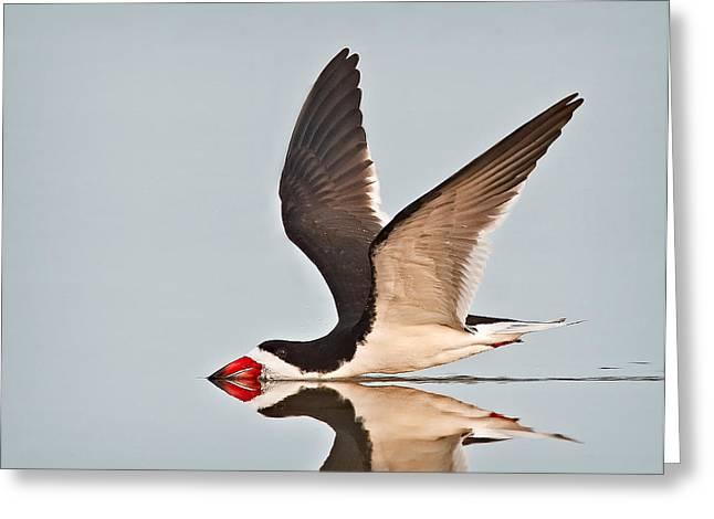 Black Beak Greeting Cards - Skimming Away Greeting Card by Susan Candelario