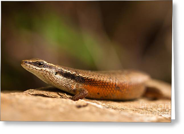 Macro Greeting Cards - Skink portrait Greeting Card by Johan Larson