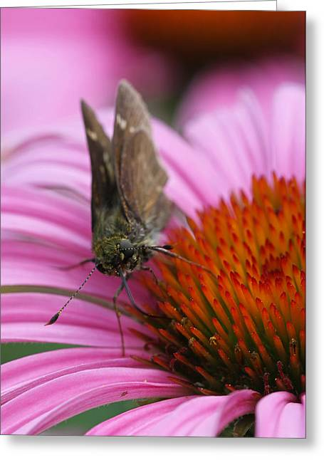 Fotografie Greeting Cards - Skipper Butterfly Greeting Card by Juergen Roth