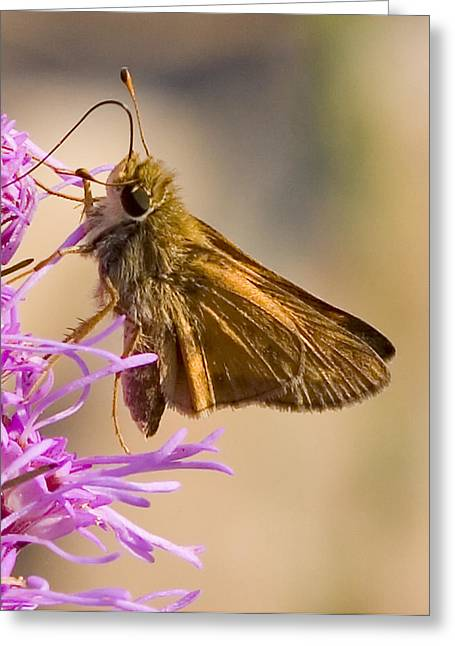 Butterfly Greeting Cards - Skipper Greeting Card by John Holloway