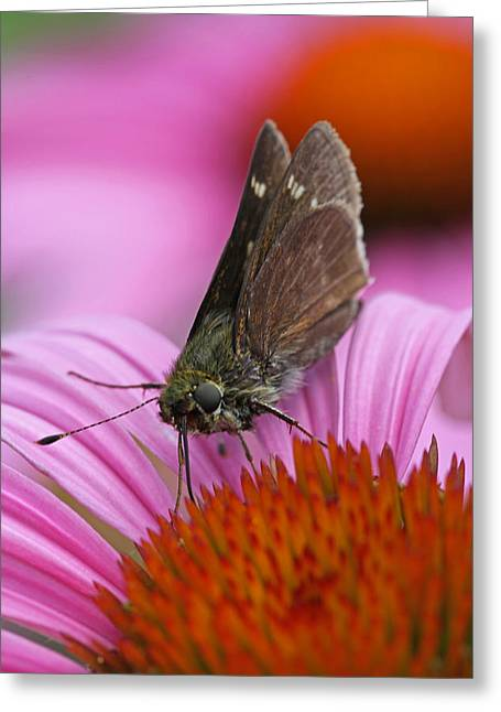 Skipper Moth Macro Photography Greeting Card by Juergen Roth