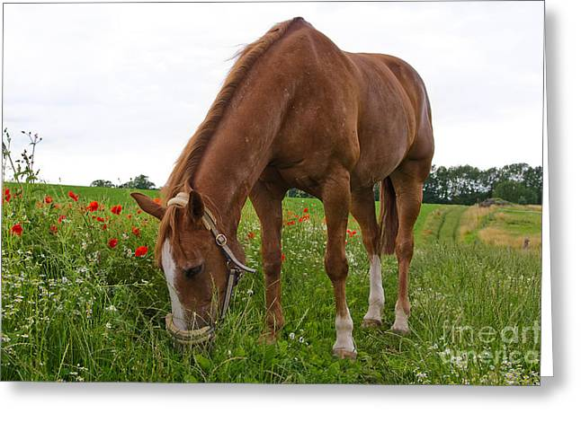 Partly Eaten Greeting Cards - Skipy in the poppy field Greeting Card by Angela Doelling AD DESIGN Photo and PhotoArt