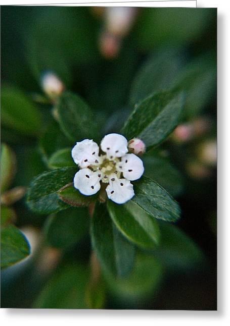 Rosaceae Greeting Cards - Skull Ghost Flower 1 Greeting Card by Douglas Barnett